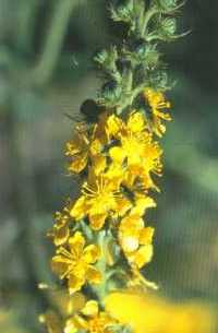 agrimony - one of 38 bach flower remedies